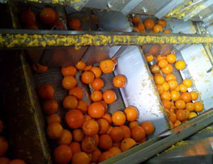 oranges in the essential oil extraction