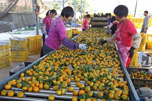 workers sorting oranges